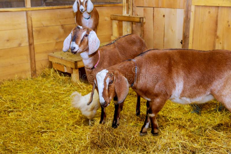 A goat stands in a barn wooden nice interior without beautiful well groomed animals. A goats stands in a barn wooden nice interior without beautiful well groomed royalty free stock photo