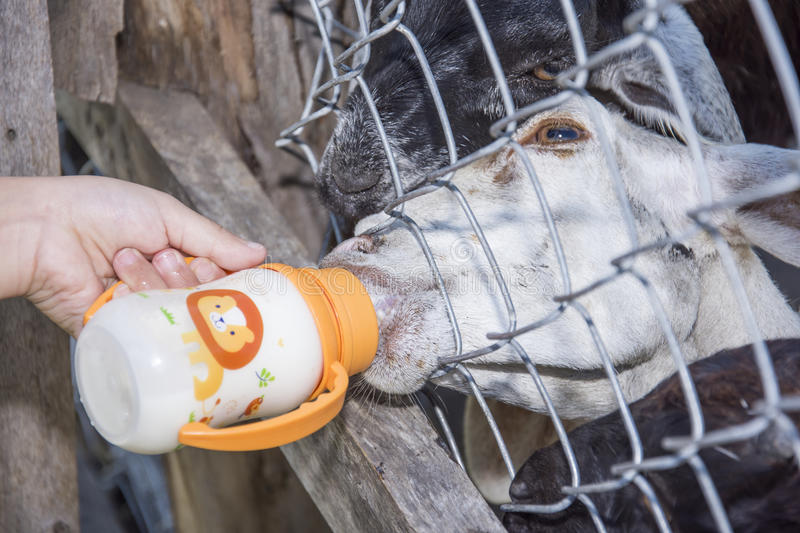 Goat sucking milk. By hand child at farm stock image