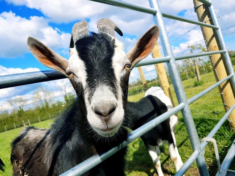 Goat& x27; testa di s che guarda tramite il portone d'acciaio fotografia stock