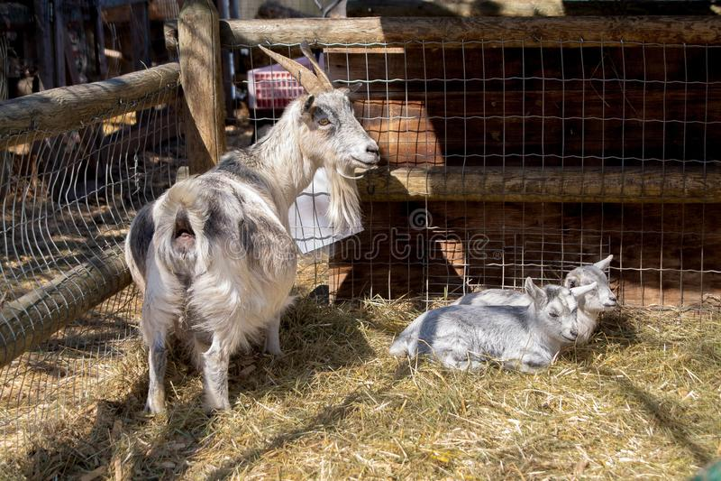Goat with their babies, breast with their children stock photo