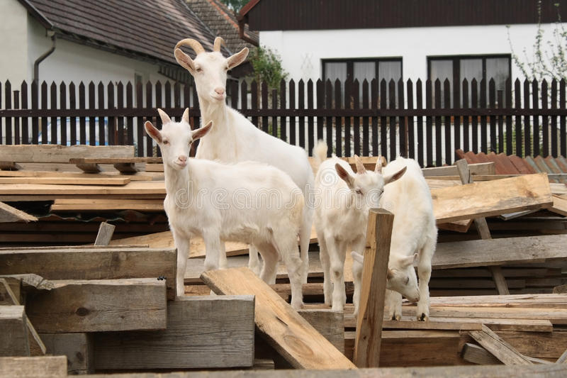 Goat and three kids royalty free stock images
