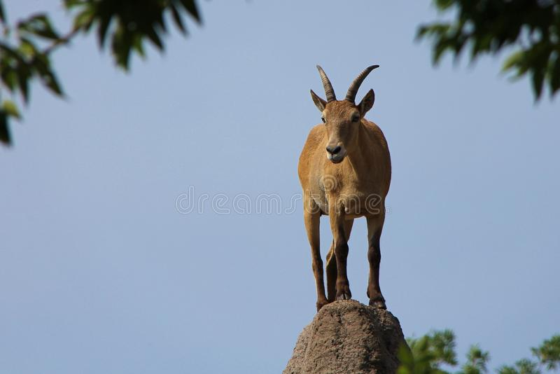 Goat on top of rock. A goat standing on the top of a rock