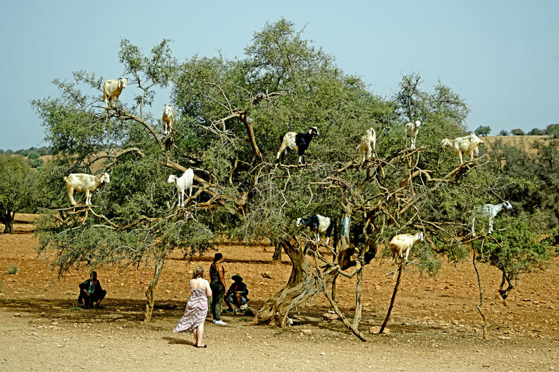 The goat tree in Morocco. Essaouira Marocco Hard to believe but these ungulates really climb up the Argan trees of Morocco and they do it for food, showing stock photography