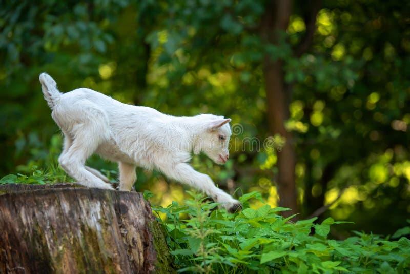 Goat on tree stump. White baby goat standing on tree stump stock image
