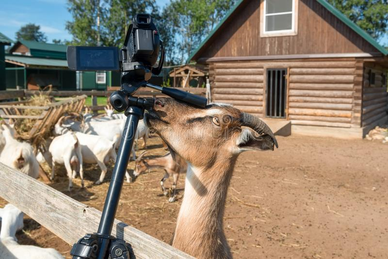 Goat videographer at work royalty free stock photography