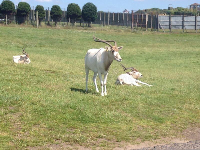 Goat at west midlands safari park. Animal stock image