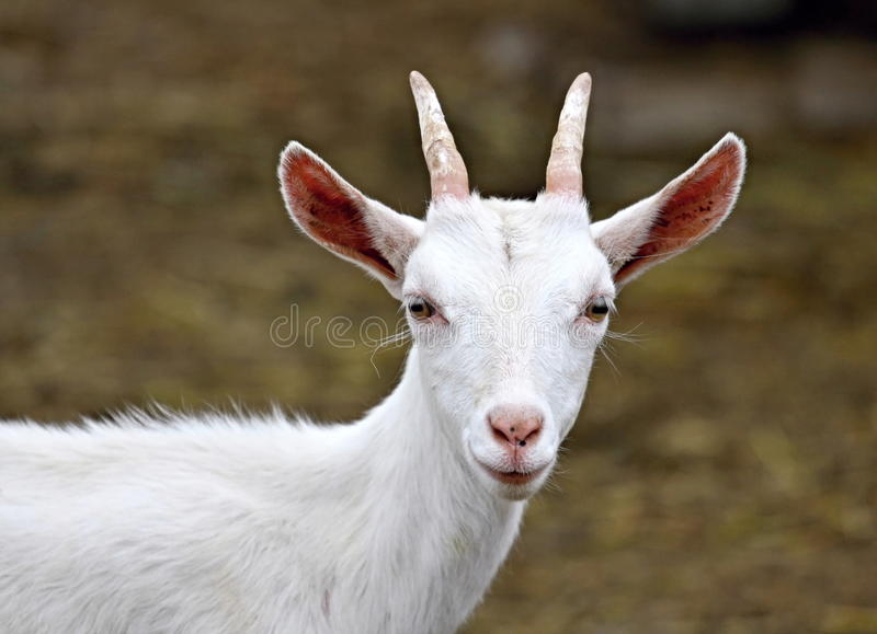 Goat. Which graze on the farm royalty free stock images