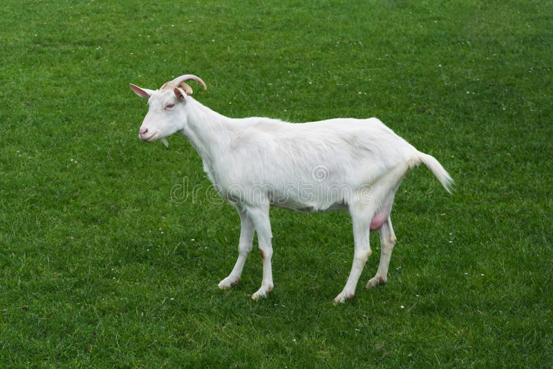 Goat white baby looking side view green grass meadow stock image