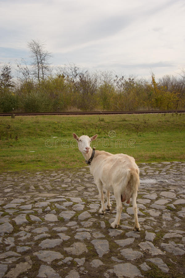 Goat. A white goat standing on the road royalty free stock photos