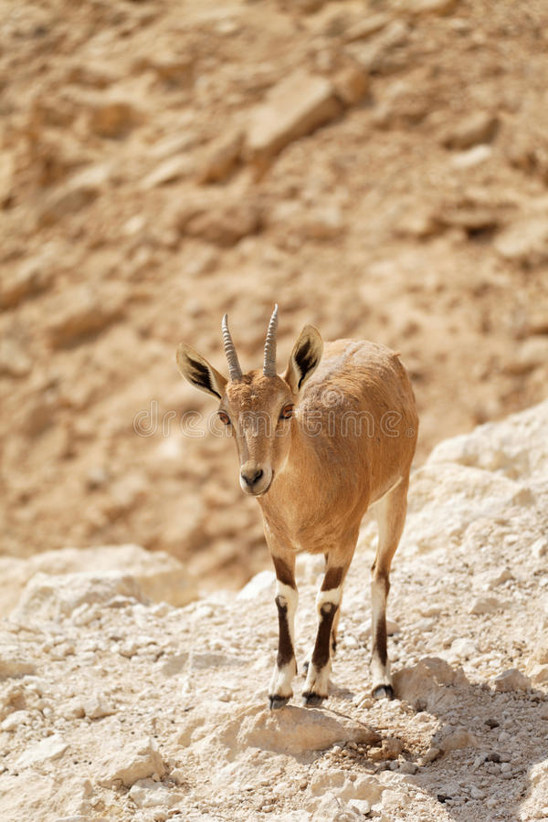 Download Goat in the wild stock image. Image of head, lake, lonely - 27404205