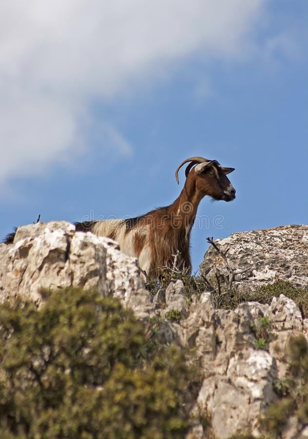 Goat in the wild stock images