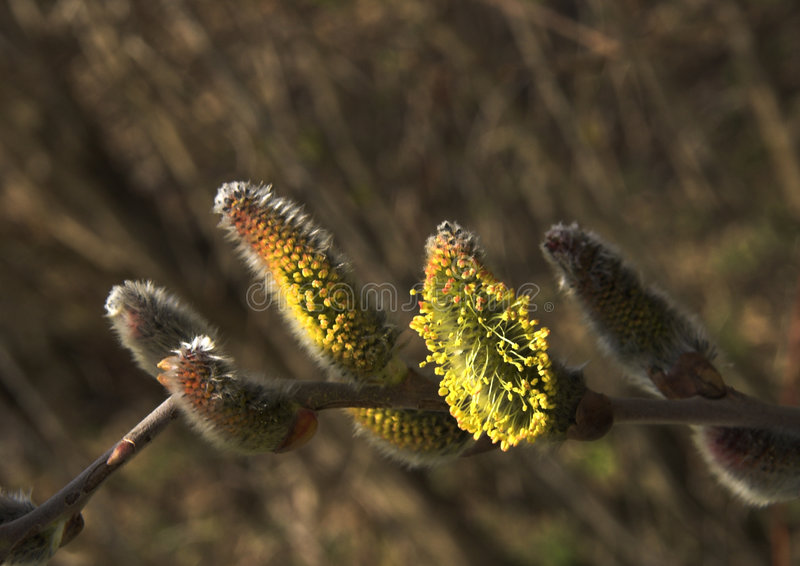 Goat willow (salix caprea) royalty free stock images