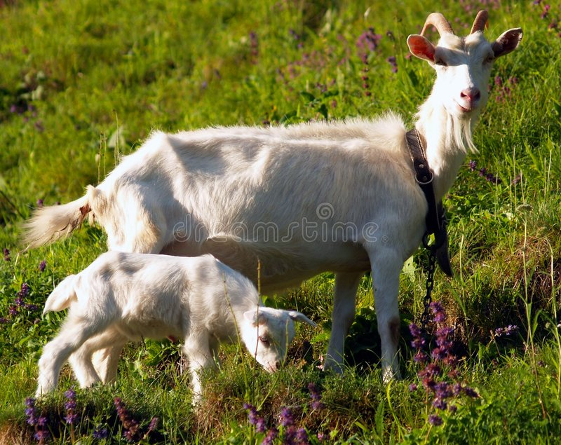 Download She-goat with yeanling stock photo. Image of goat, goats - 2934924