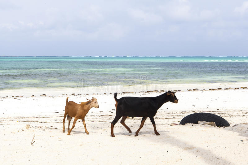 The goat on Zanzibar Island. This picture is taken in zANZIBAR, TANZANIA royalty free stock photos
