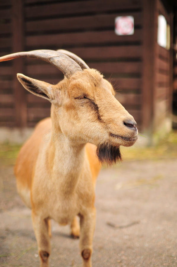 Download Goat in zoo stock image. Image of meadow, portrait, natural - 15090045