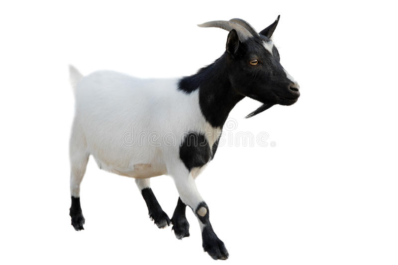 Goatee fotografia stock