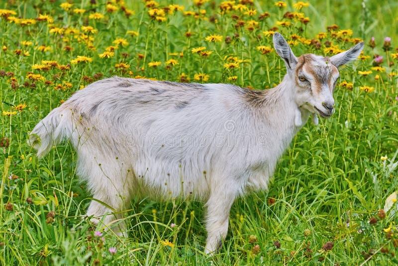 Goatee na Lea obrazy stock
