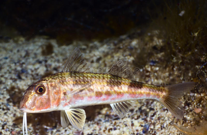 Goatfish arkivbild