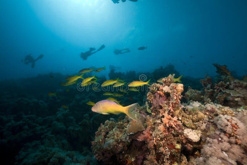 Download Goatfish De Yellowsaddle No Mar Vermelho Imagem de Stock - Imagem de escola, aqua: 16859405