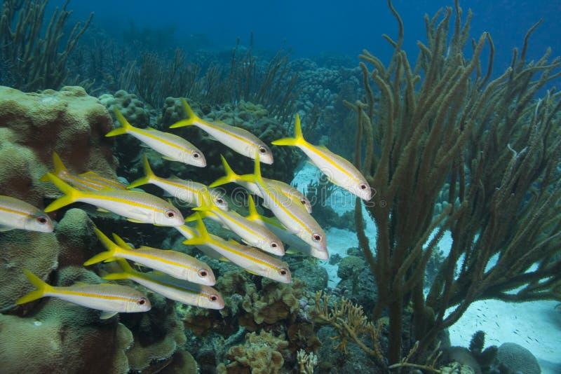 Goatfish jaune, grognement de Smallmouth photo libre de droits