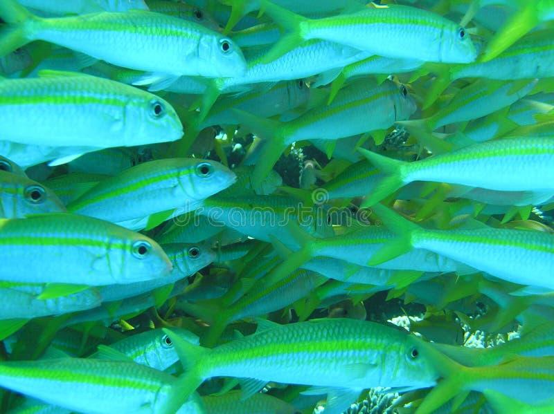 goatfish1 στοκ εικόνα με δικαίωμα ελεύθερης χρήσης