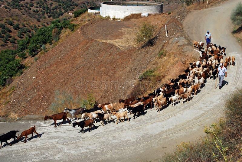 Goatherd, Iznate, Andalusia, Spain. Goatherd and shepherds walking along mountain road, Iznate, Malaga Province, Andalucia, Spain, Western Europe stock images