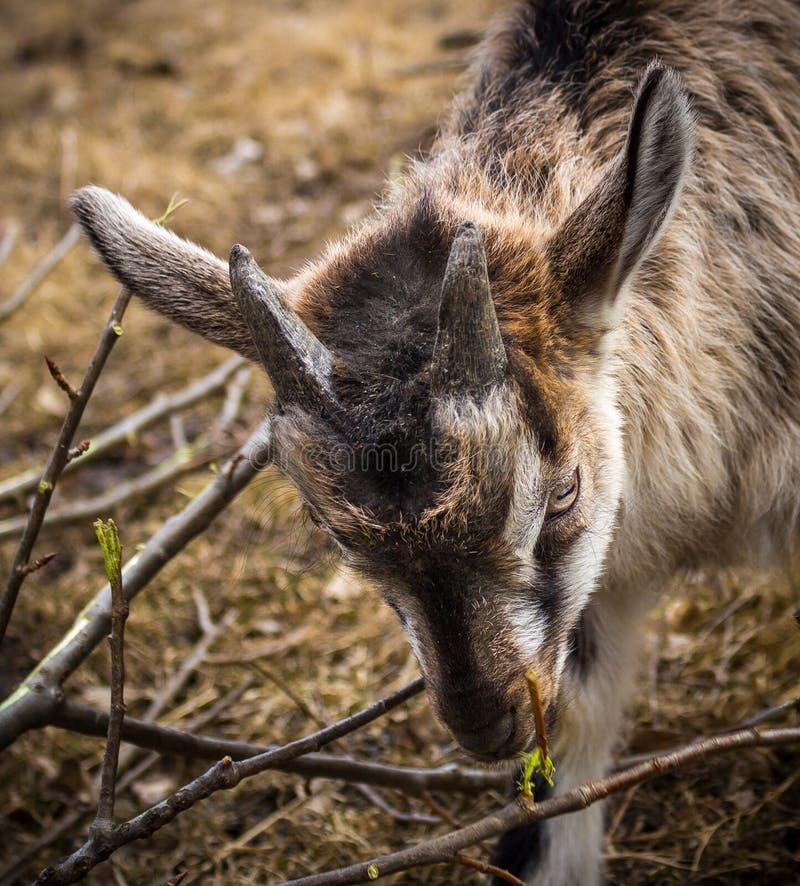 Goatling royalty free stock photography