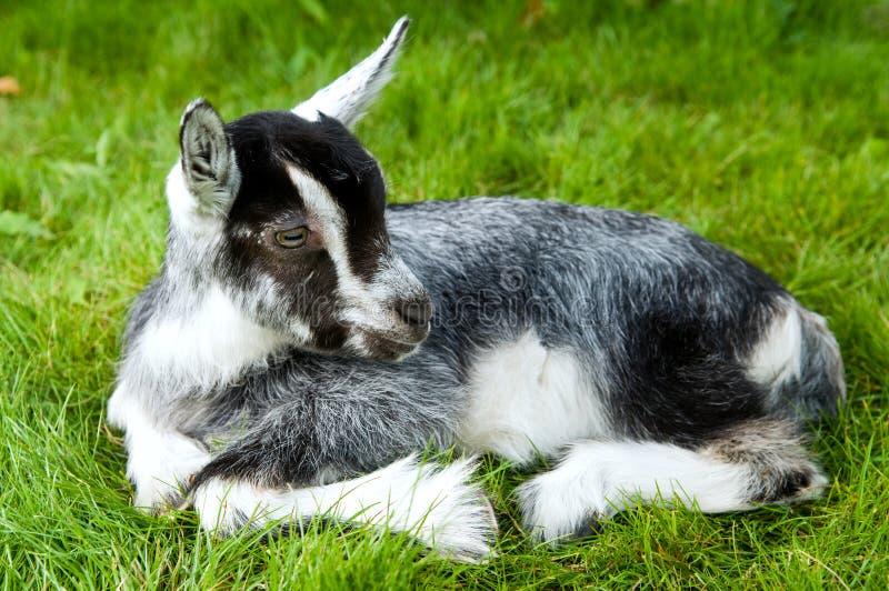 Goatling branco preto na grama verde fotos de stock royalty free