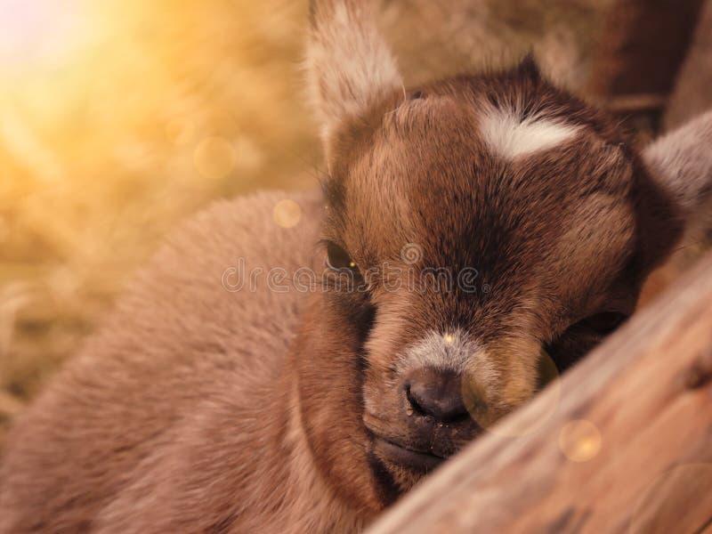 Goatling dans le sauvage photos libres de droits