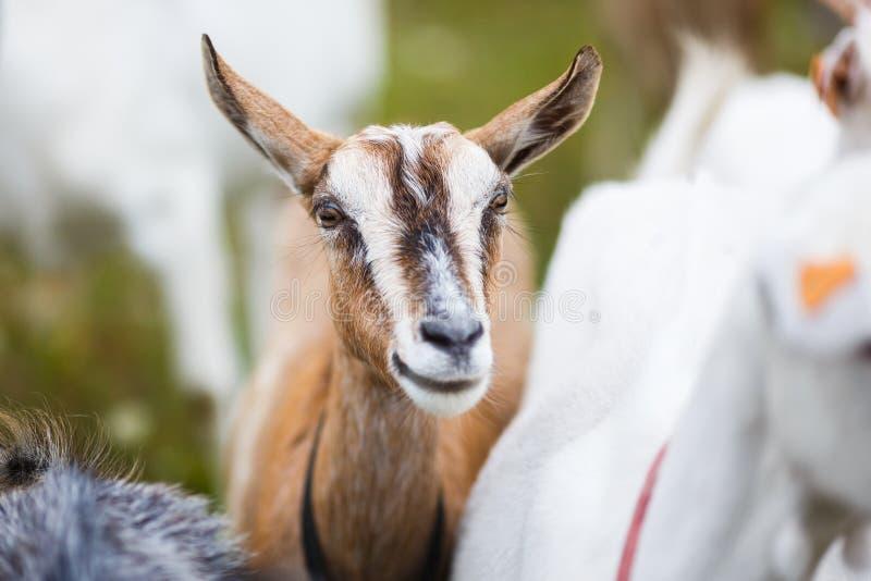 Goatling en el prado foto de archivo