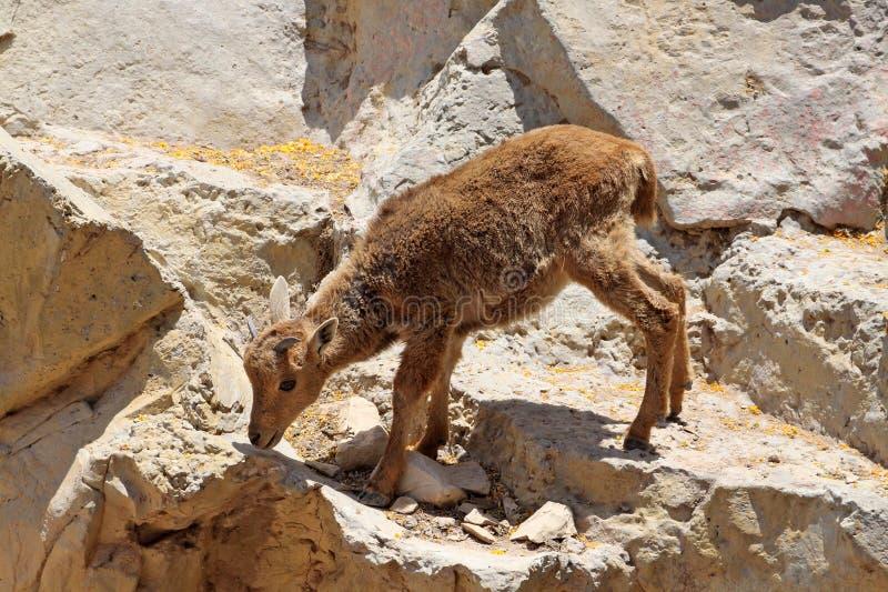 Goatling s'élevant sur la roche image libre de droits
