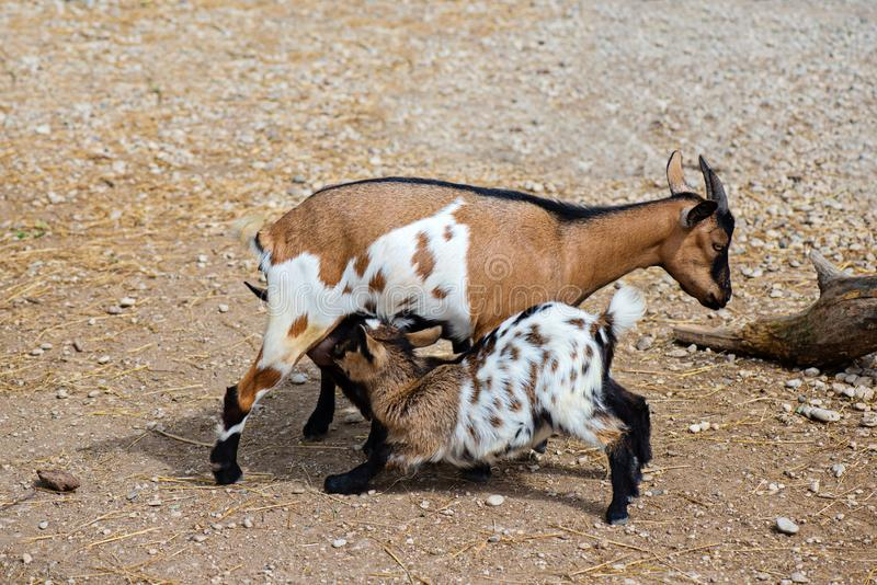 Goatlings τροφών αιγών στοκ φωτογραφίες με δικαίωμα ελεύθερης χρήσης