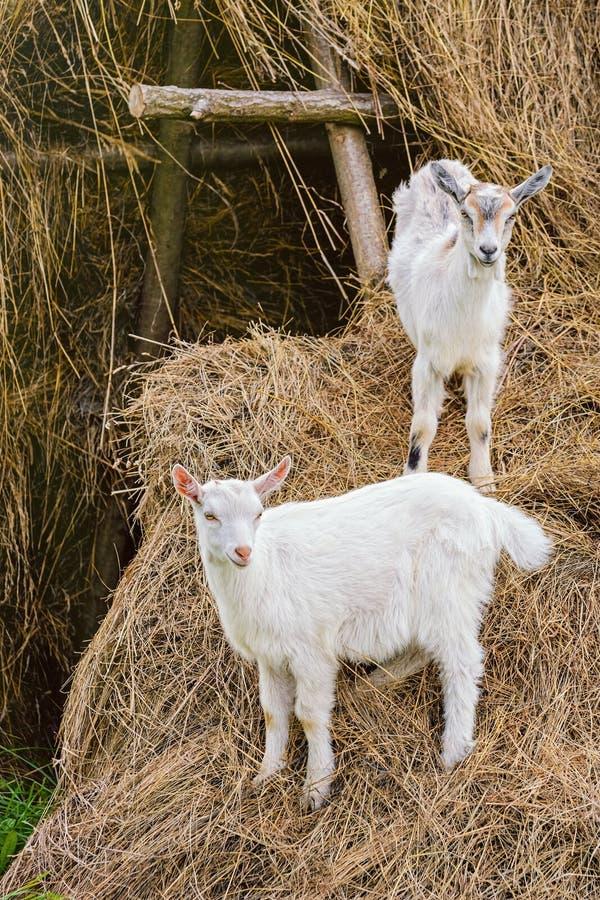 goatlings δύο λευκό στοκ εικόνα με δικαίωμα ελεύθερης χρήσης