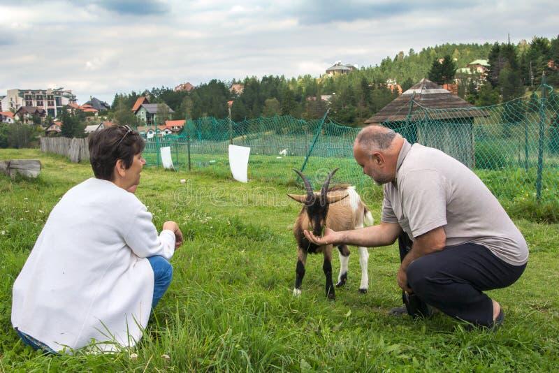 Goatlings affamato che cattura pranzo fotografia stock