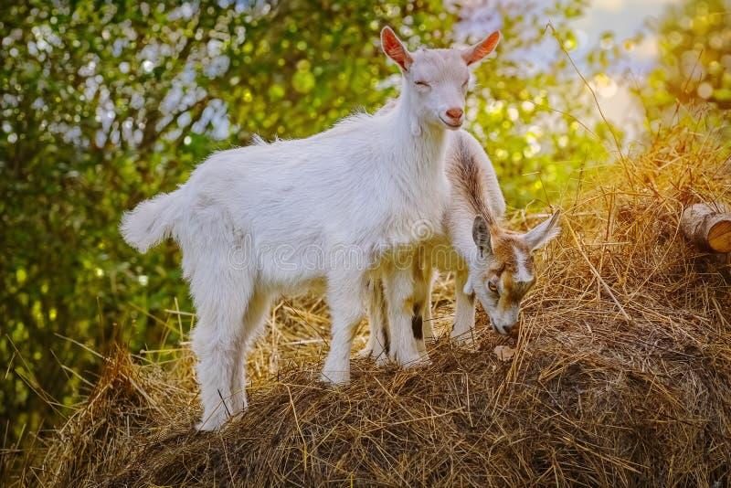 Goatlings su un fieno immagini stock