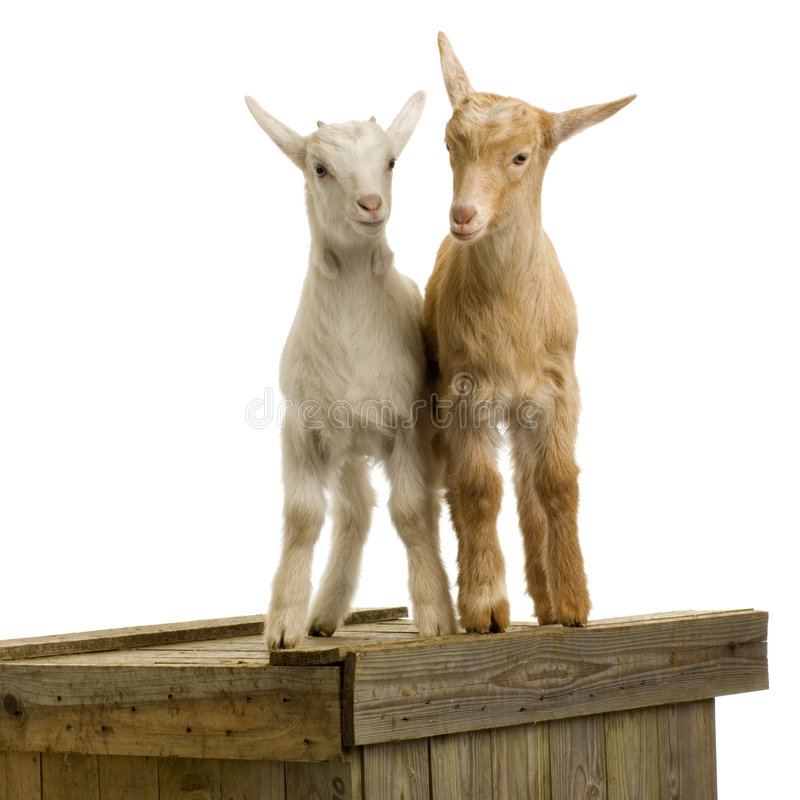 Download Goats stock photo. Image of playing, cattle, youth, agriculture - 2304520