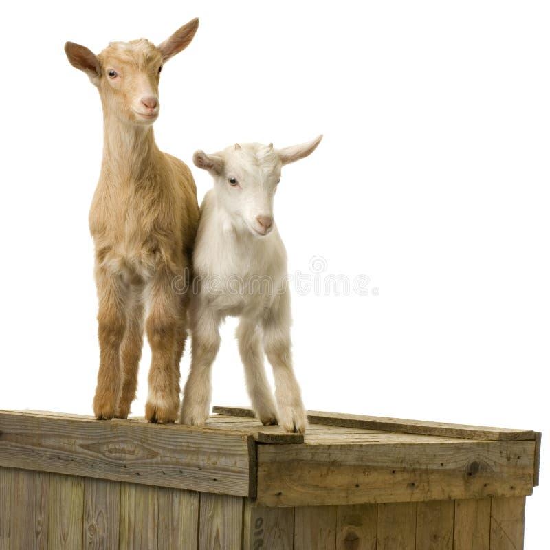 Download Goats stock photo. Image of mammal, scene, innocence, livestock - 2306440