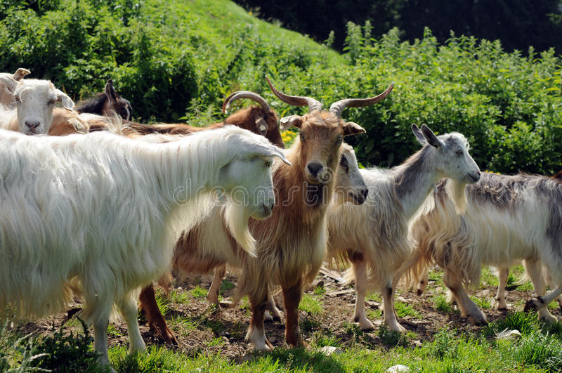 Download Goats stock image. Image of agriculture, animal, domestic - 23674987