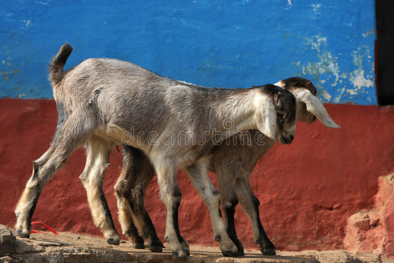 Download Goats Stock Image - Image: 24193341