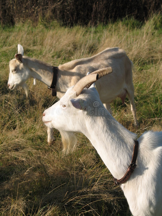 Goats. Two white goats in a meadow stock images