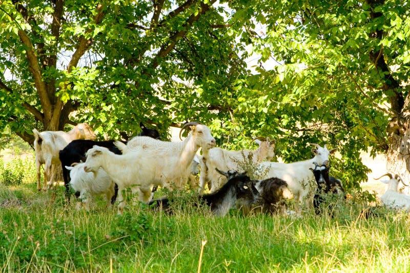 Download Goats stock image. Image of spring, summer, goats, land - 4960403