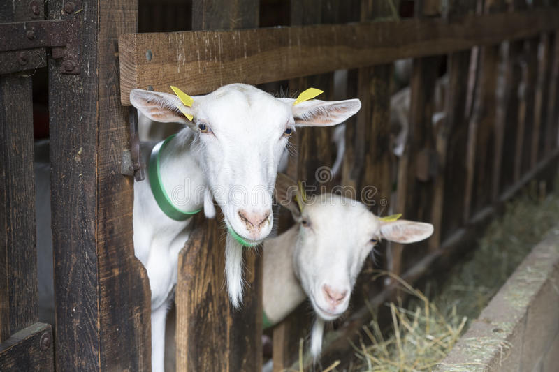 Goats in an animal stable stock images