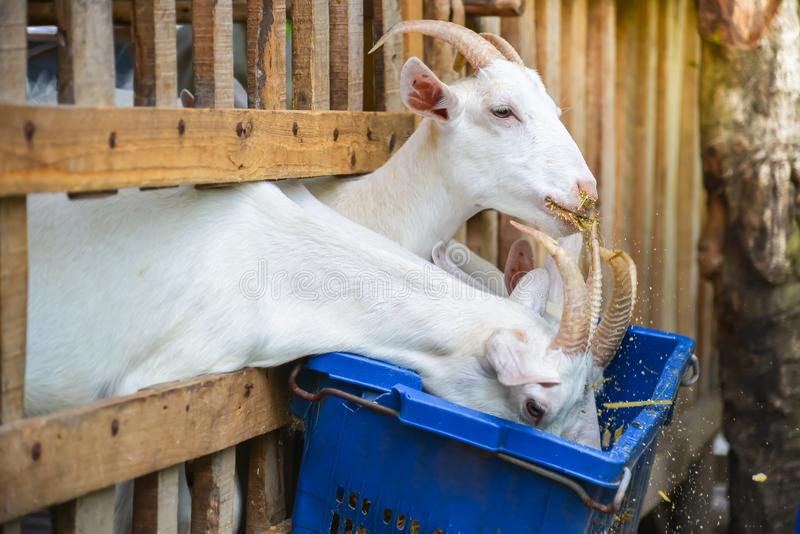 Goats ate in stables stock photography