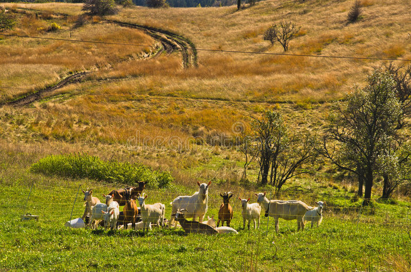 Goats at autumn coutryside landscape on a sunny day, Cemerno mountain. Central Serbia royalty free stock photography