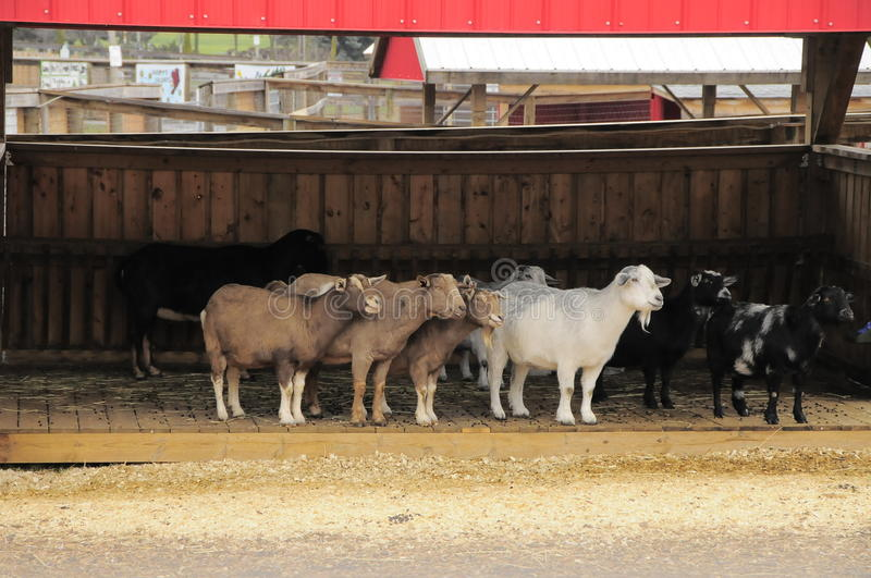 Goats In Barn Royalty Free Stock Photography
