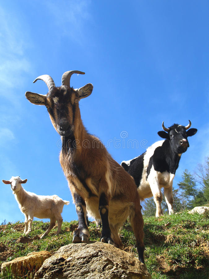 Goats and bull stock photo