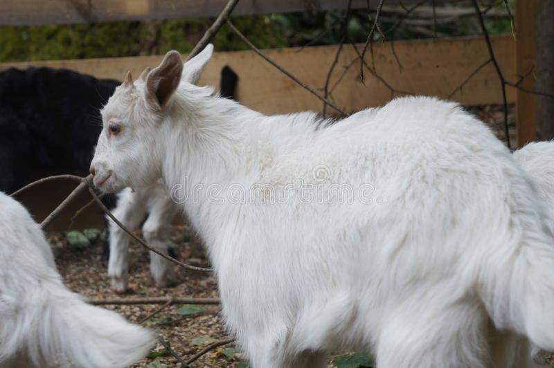 Goats. Cashmire goats on a Norwegian goat farm royalty free stock images