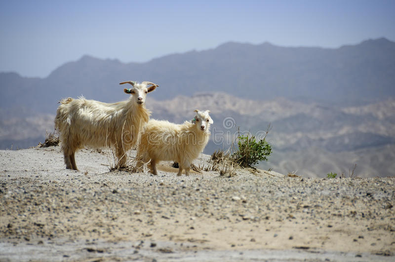 Goats in the desert. In the middle of nowhere, at the entrance of the Tarim Basin we were accompanied by these goats, Xinjiang, China stock photography