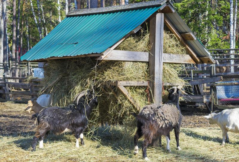 Goats eat hay from a stack. royalty free stock image