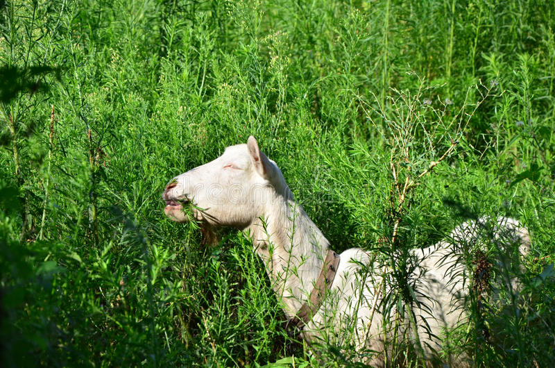 Goats eating grass. Lovely goat is happily eating grass stock photo